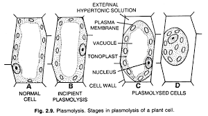 Plant cell showing stages in plasmolysis