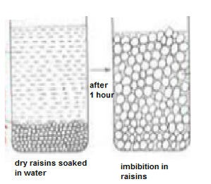 Imbibition :Plant and water relations ( Imbibition in raisins)