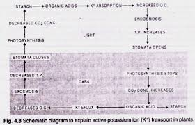 Role of K+ in Stomatal Movement (Potassium Ion Transport in Plants)