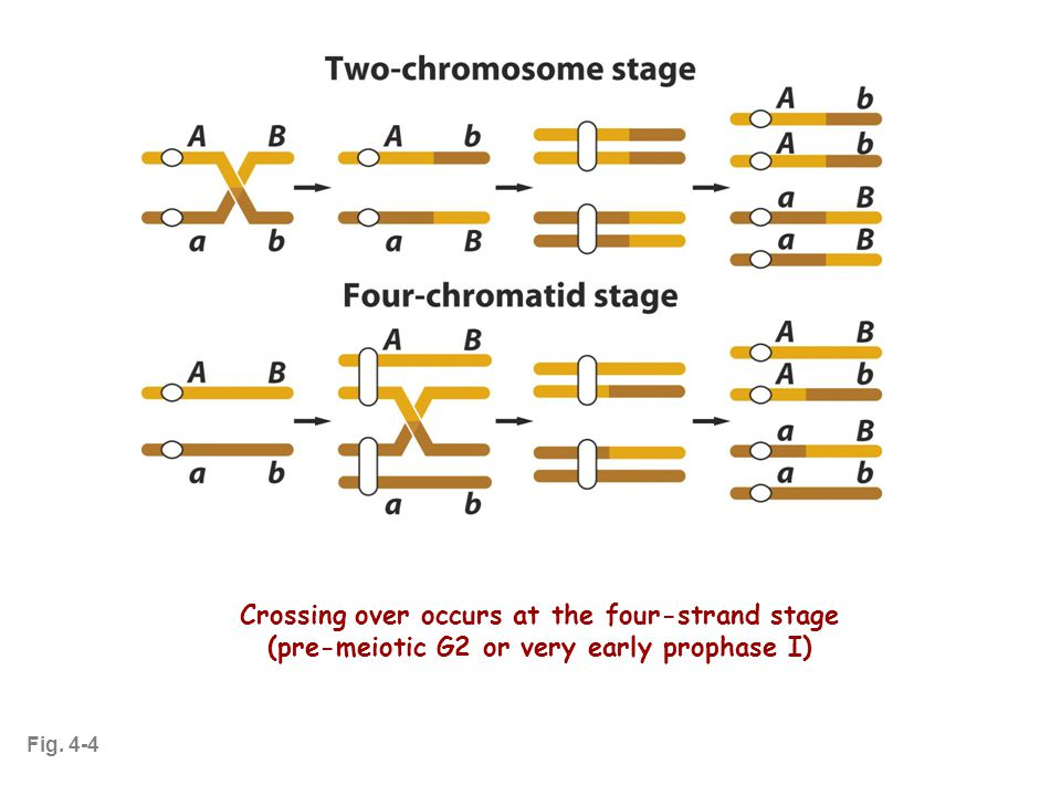 Crossing Over at 4-Standed Stage